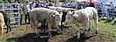 cattle at skye show