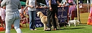 dog at skye show