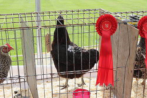 Poultry Competition 2019