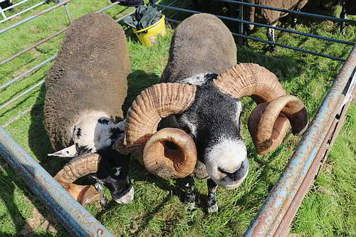 Sheep Competition 2019